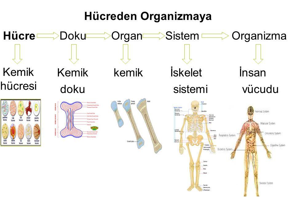 Hücreden Organizmaya Hücre DokuOrganSistemOrganizma Kemik hücresi Kemik doku İskelet sistemi kemikİnsan vücudu