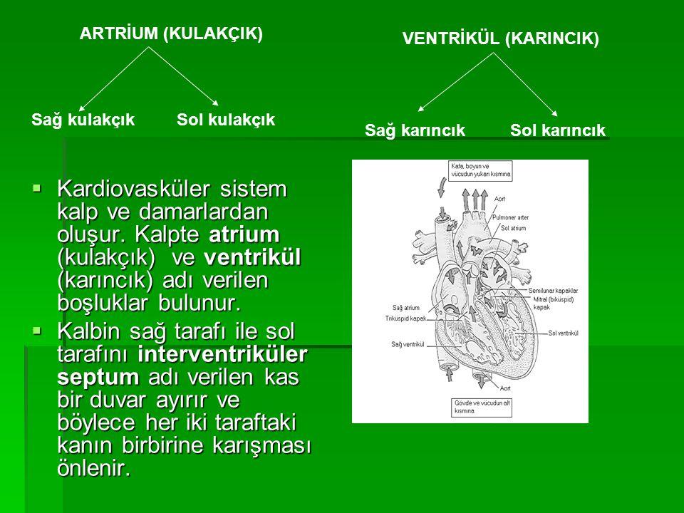 KALBİN ANATOMİSİ ENDOKARDİYUM  Bağ dokuları, kan damarları ve özelleşmiş kalp kası liflerini(purkinje lifleri) içerir.