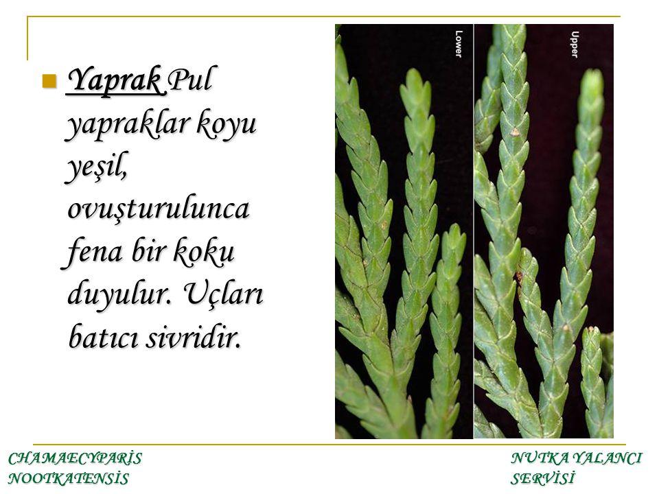 Yaprak Pul yapraklar koyu yeşil, ovuşturulunca fena bir koku duyulur. Uçları batıcı sivridir. Yaprak Pul yapraklar koyu yeşil, ovuşturulunca fena bir