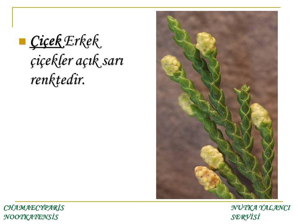 Çiçek Erkek çiçekler açık sarı renktedir. Çiçek Erkek çiçekler açık sarı renktedir. CHAMAECYPARİS NOOTKATENSİS NUTKA YALANCI SERVİSİ
