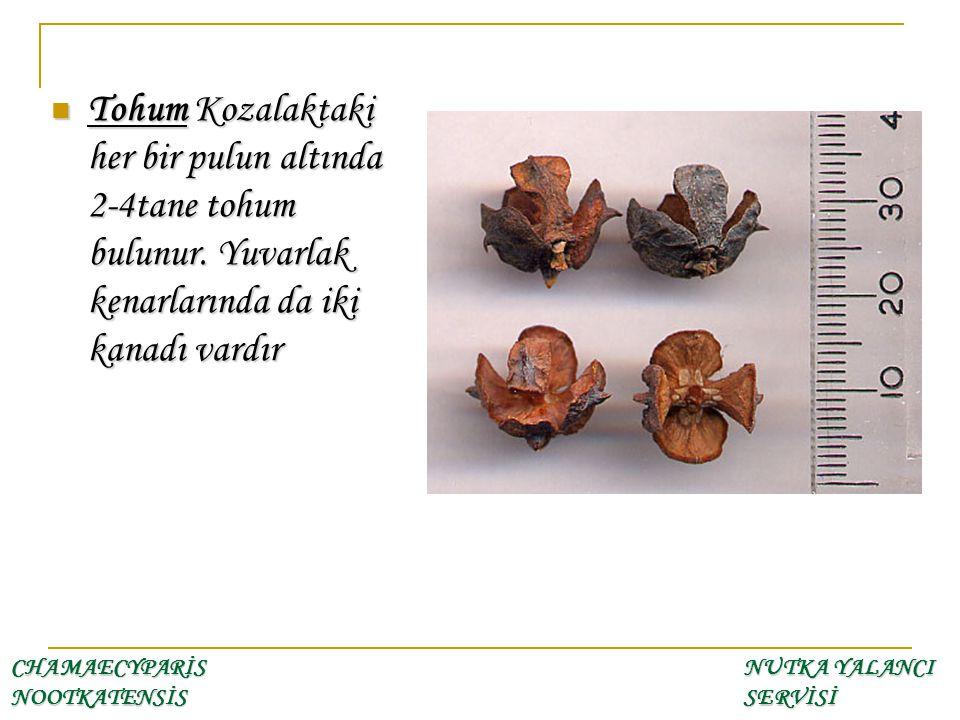 Tohum Kozalaktaki her bir pulun altında 2-4tane tohum bulunur. Yuvarlak kenarlarında da iki kanadı vardır Tohum Kozalaktaki her bir pulun altında 2-4t