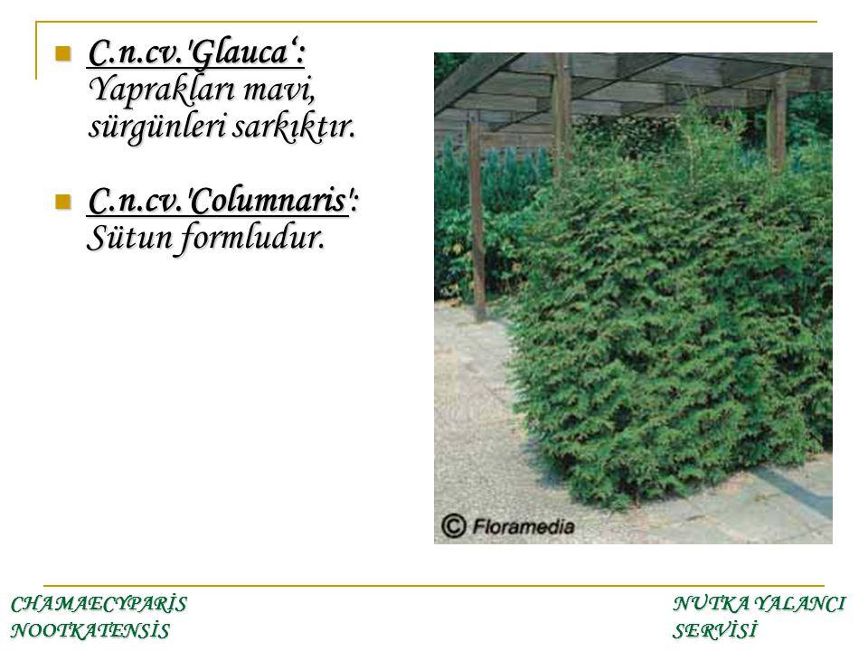 CHAMAECYPARİS NOOTKATENSİS NUTKA YALANCI SERVİSİ C.n.cv.'Glauca': Yaprakları mavi, sürgünleri sarkıktır. C.n.cv.'Glauca': Yaprakları mavi, sürgünleri