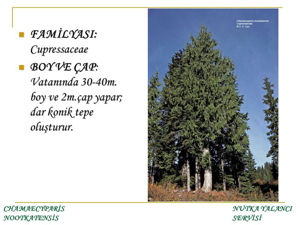 FAMİLYASI: Cupressaceae FAMİLYASI: Cupressaceae BOY VE ÇAP: Vatanında 30-40m. boy ve 2m.çap yapar; dar konik tepe oluşturur. BOY VE ÇAP: Vatanında 30-