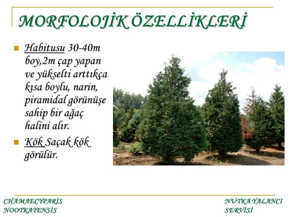 Habitusu 30-40m boy,2m çap yapan ve yükselti arttıkça kısa boylu, narin, piramidal görünüşe sahip bir ağaç halini alır. Habitusu 30-40m boy,2m çap yap