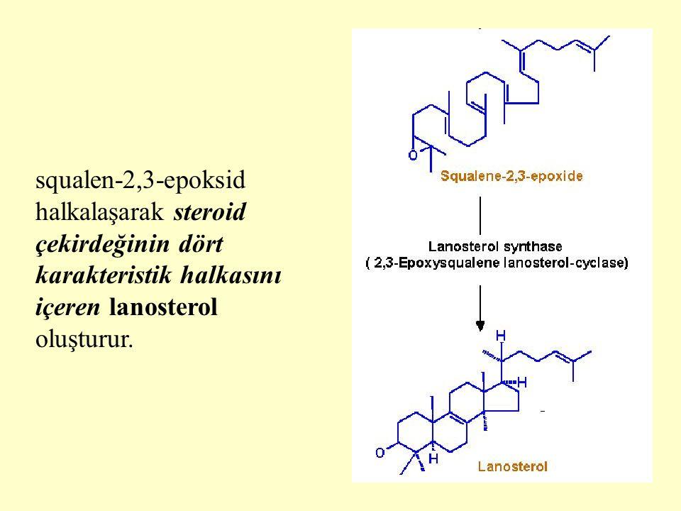 27 squalen-2,3-epoksid halkalaşarak steroid çekirdeğinin dört karakteristik halkasını içeren lanosterol oluşturur.