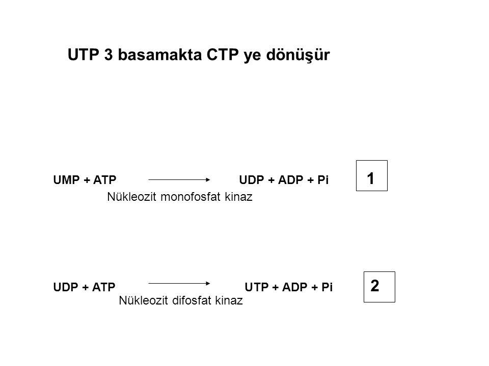 UMP + ATP UDP + ADP + Pi 1 UDP + ATP UTP + ADP + Pi 2 Nükleozit monofosfat kinaz Nükleozit difosfat kinaz UTP 3 basamakta CTP ye dönüşür