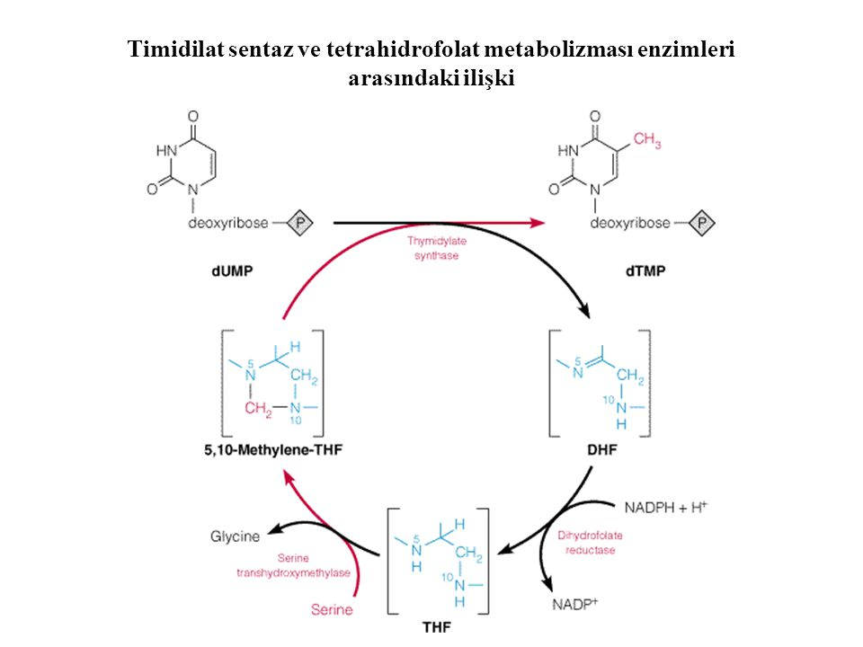 Timidilat sentaz ve tetrahidrofolat metabolizması enzimleri arasındaki ilişki
