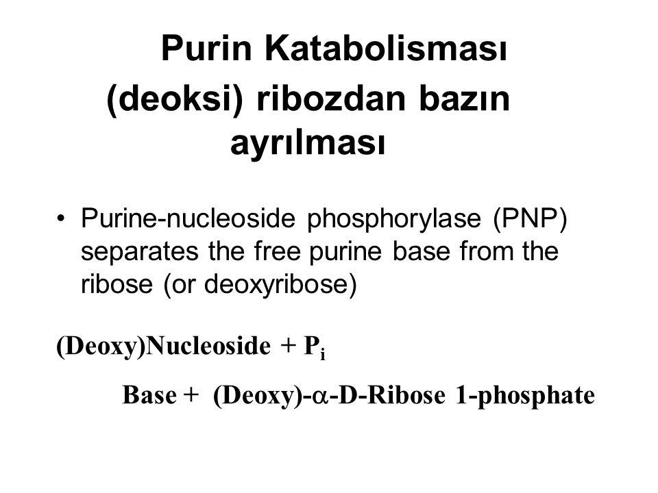 Purin Katabolisması (deoksi) ribozdan bazın ayrılması Purine-nucleoside phosphorylase (PNP) separates the free purine base from the ribose (or deoxyri