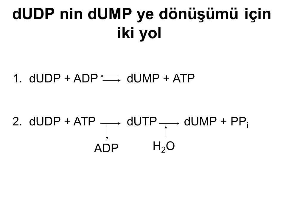 dUDP nin dUMP ye dönüşümü için iki yol 1. dUDP + ADP dUMP + ATP 2. dUDP + ATP dUTPdUMP + PP i ADP H2OH2O