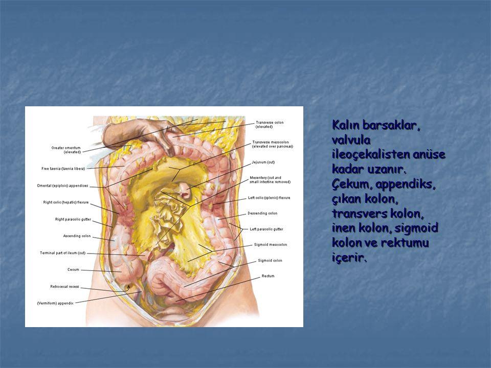 İleumun kalın barsağa açıldığı kısımda valvula ileoçekalis vardır.