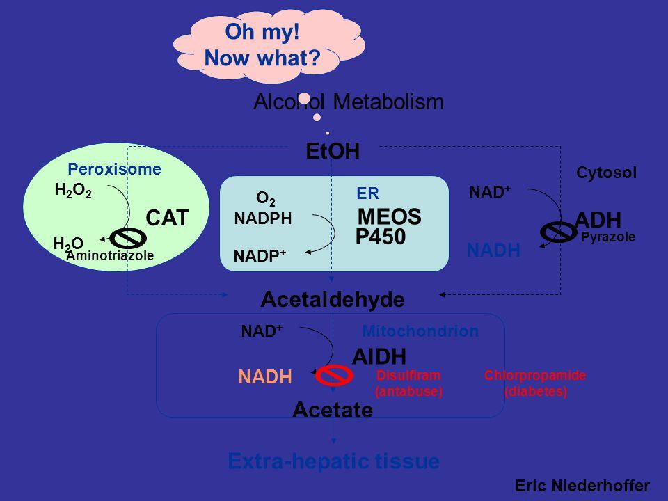 HİPOGLİSEMİ ve ALKOL KULLANIMI: Etanol Asetaldehit Asetikasit Alkol DH ADH NAD + NADH NADH+H + NAD+ Pirüvat Laktat Böylece glukoneogenez inhibe olur v