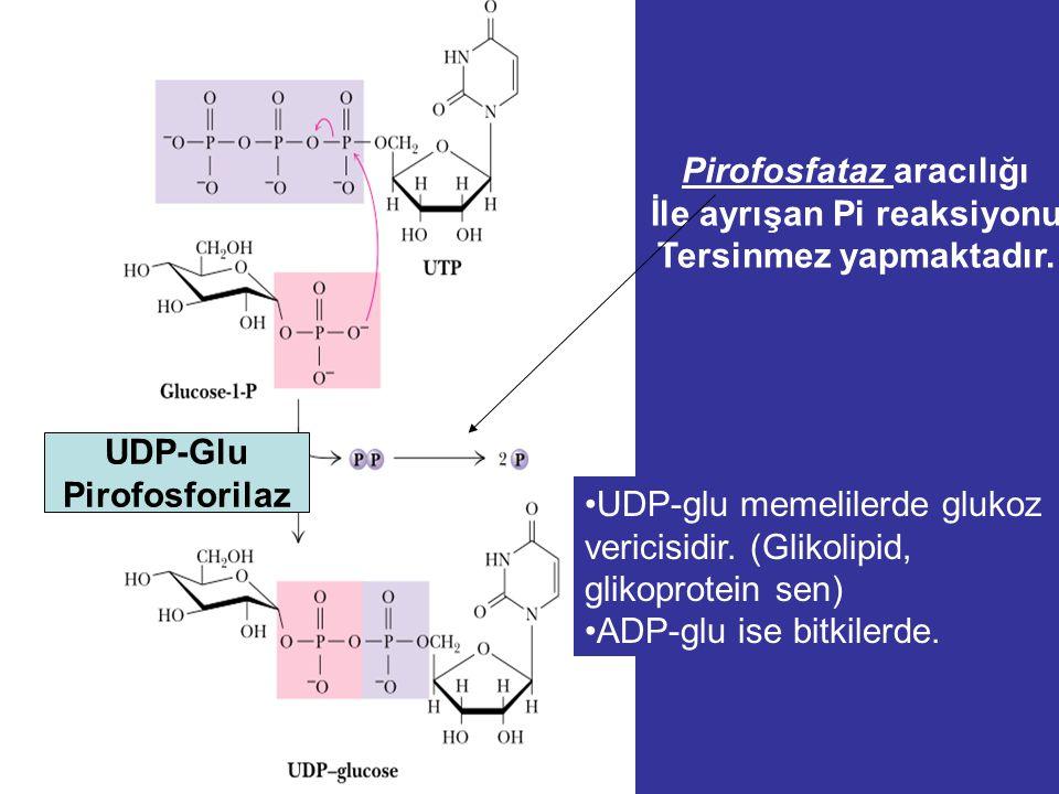 Alfa - D - Glukoz Glikojenezis α - D - Glukoz - 6 - fosfat UDPGlukoz 1,4 – Glukozil üniteleri α - D - Glukoz - 1 - fosfat Mg 2+ Glucokinase, Mg 2+ Gly