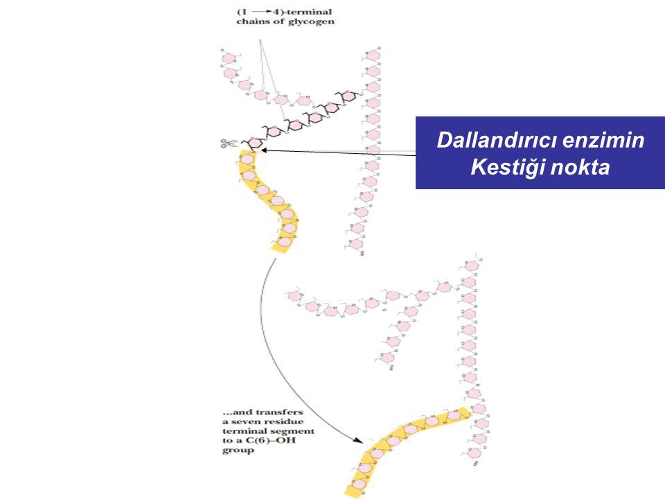 Glikojen Sentaz Düzenleyici enzim