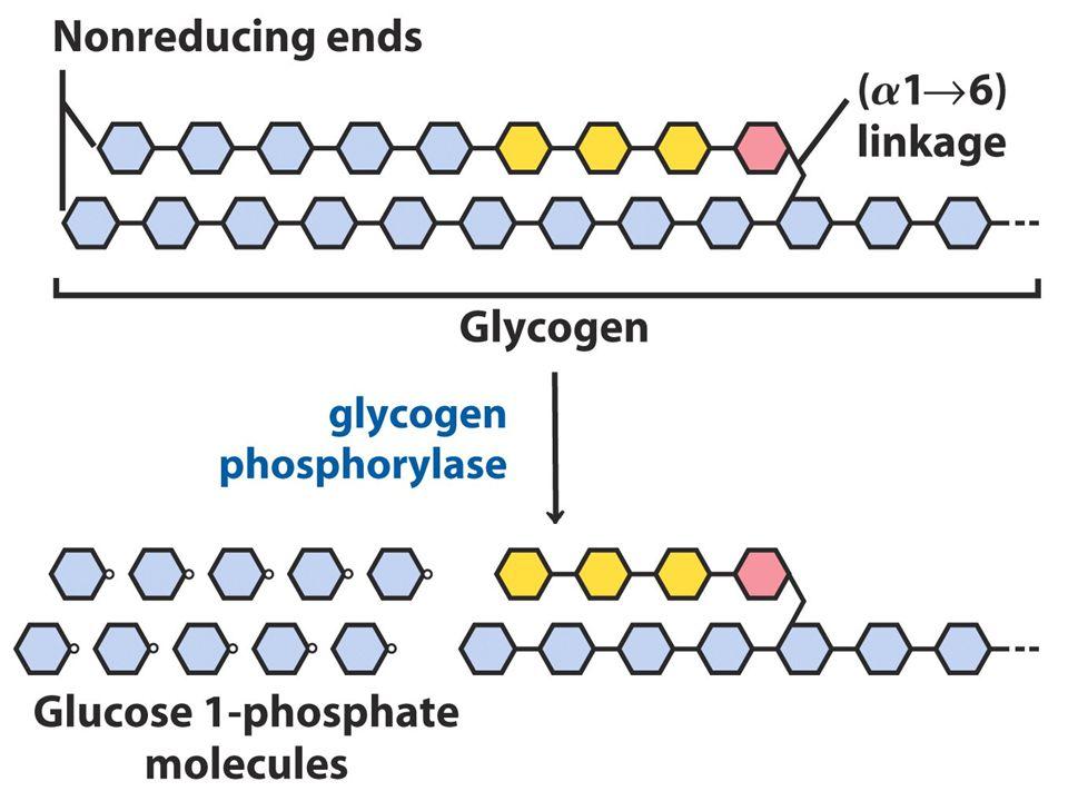 GLİKOJENOLİZ: Glikojen yıkımı: 1.Glikojen fosforilaz 2.Dallanmış yapıyı yıkıcı enzim. (Transglikozilaz, Glukozidaz) 3.Fosfoglukomutaz