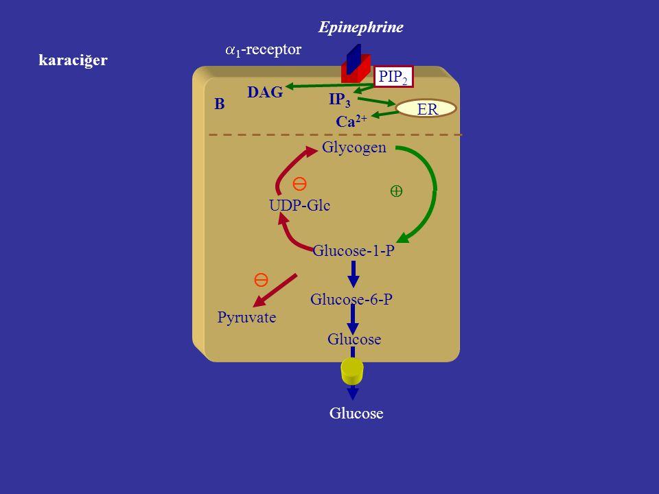 Karaciğer Glycogen Glucose-1-P Glucose-6-P Glucose Epinephrine A UDP-Glc  2 -receptor cAMP Kc glikojeninin mobilizasyonu.   Pyruvate 