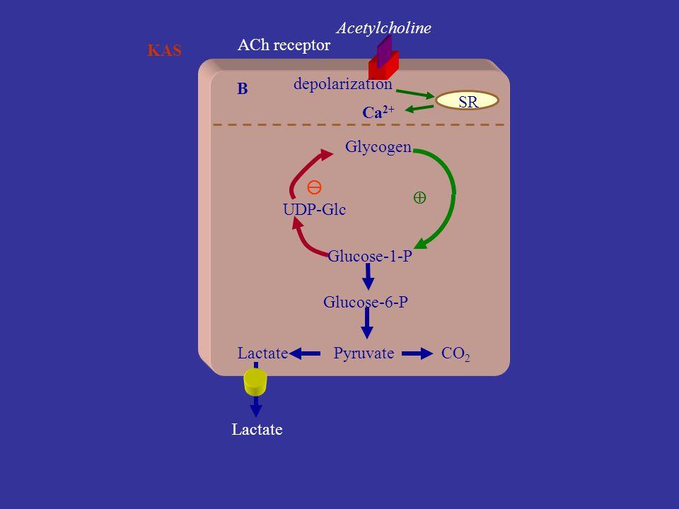 KAS Kas glikojeninin mobilizasyonu Glucose-6-P Pyruvate Epinephrine A  2 -receptor CO 2 Lactate cAMP Glycogen Glucose-1-P UDP-Glc  