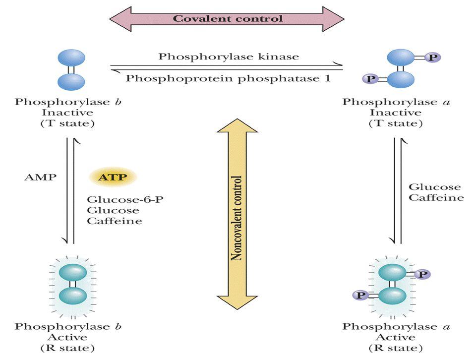 Fosforilazın allosterik kontrolü: Regulasyonun enerji düzeyine bağlılığı oldukça yüksektir. ATP, G-6P yüksekse enzim aktivitesi azalmakta AMP düzeyi y