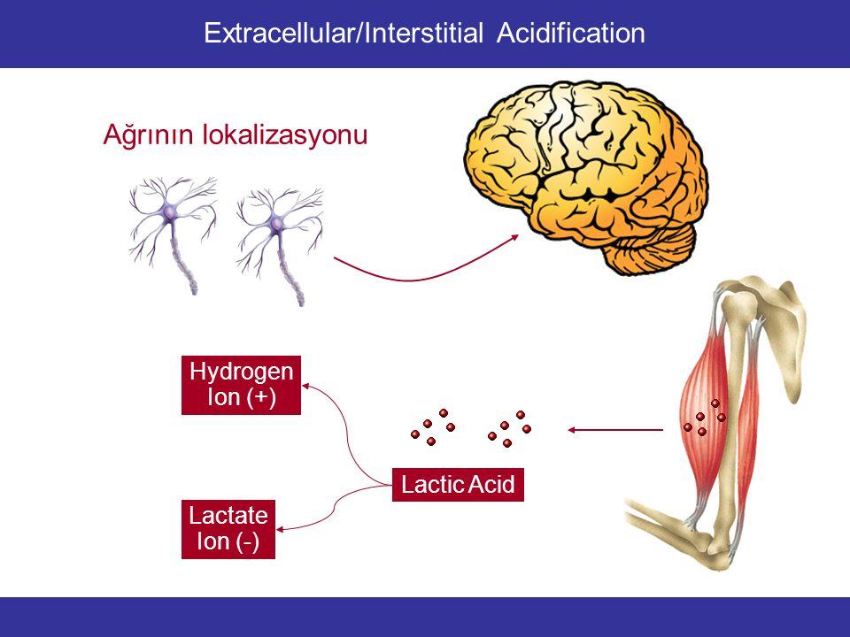 Lactic Acid Lactate Ion (-) Hydrogen Ion (+) Enzyme Inactivation Kalsiyum bağlanmasında zayıflama Intramuscular Acidification