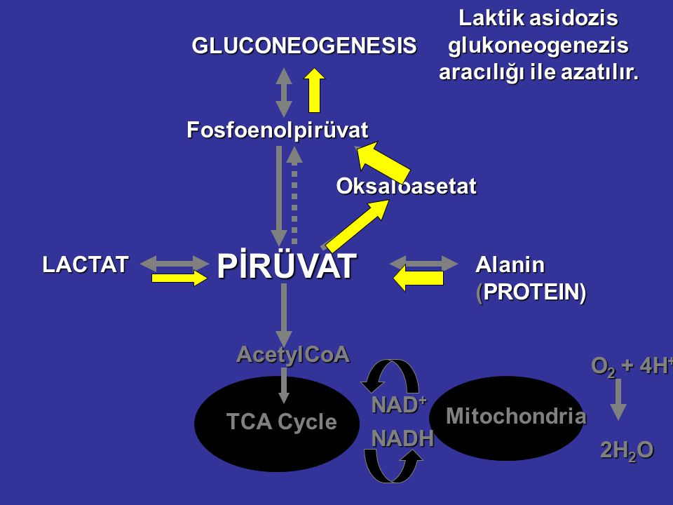 Fosfoenolpirüvat Oksaloasetat PİRÜVAT LAKTAT AsetilCoA TCA Cycle Mitokondri NAD + NADH O 2 + 4H + 2H 2 O GLUCONEOGENESIS Alanin (PROTEIN) Laktat ve Al