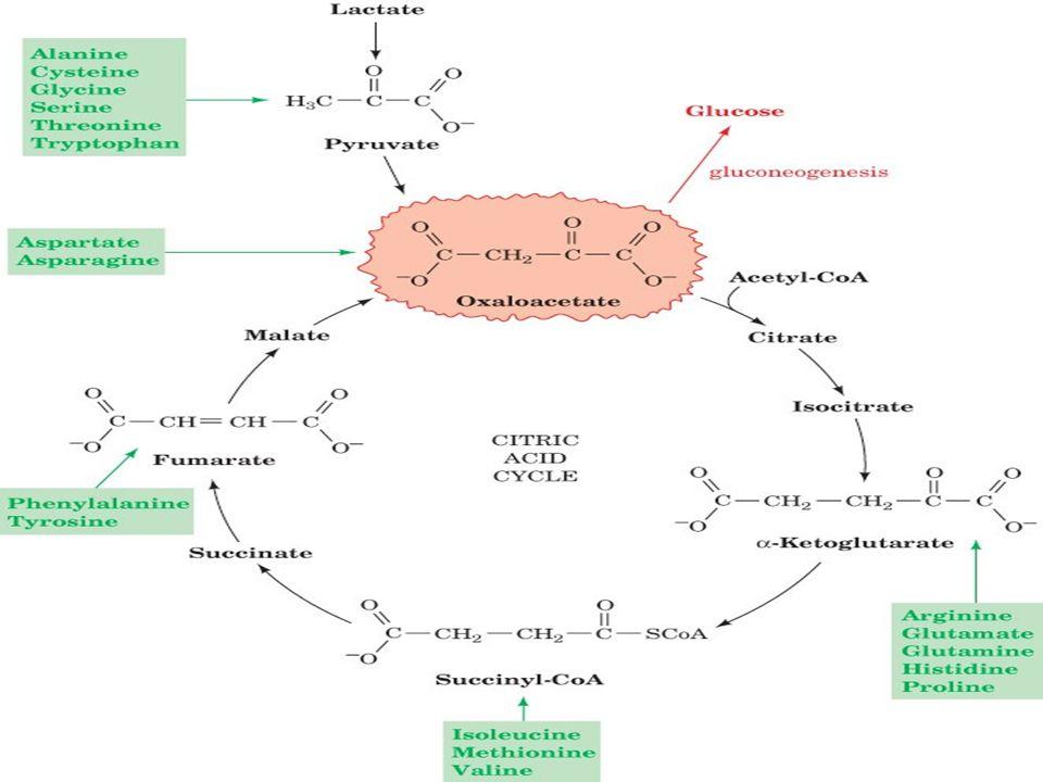 Glukoz sentezi için gerekli karbonlar nereden gelir? Kan glukozunun önemli öncülleri kas proteinleridir ve proteolizis hızı dahil sık sık substrat var