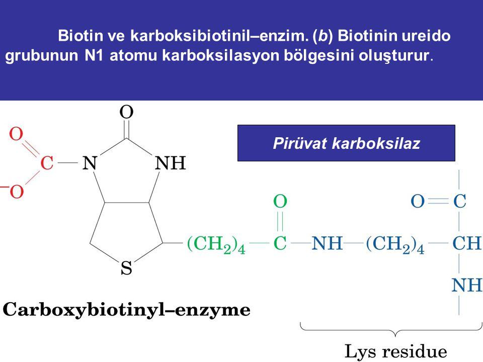 Biotin ve karboksibiotinil–enzim. (a) Biotin bir imidazolin halkası ve üzerinde valerat taşıyan bir tetrahidrothiofen halkası içerir. Avidin, yumurta