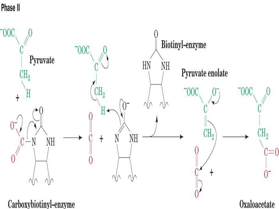 Biotin ve karboksibiotinil–enzim. (b) Biotinin ureido grubunun N1 atomu karboksilasyon bölgesini oluşturur. Pirüvat karboksilaz