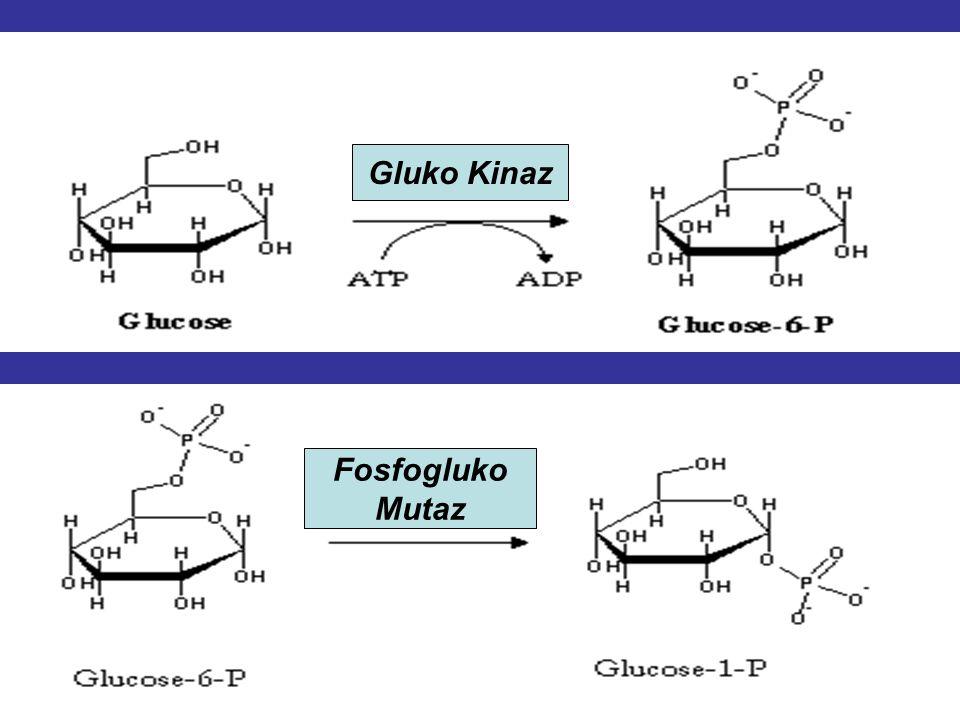 GLİKOJEN SENTEZİ: Glikojen sentezi karaciğer,kas,böbrek hücre sitozolünde kan glukoz düzeyi çok yüksek olduğunda gerçekleşir. G-6-P, G-1-P'a dönüştürü