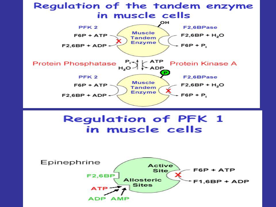 KASTA HORMONAL KONTROL: Glukoneogenez OLUŞMAZ Kaslarda glukagon reseptörleri YOKTUR Glikoliz epinefrin tarafından aktive edilir F-2,6-BP oluşumu epine