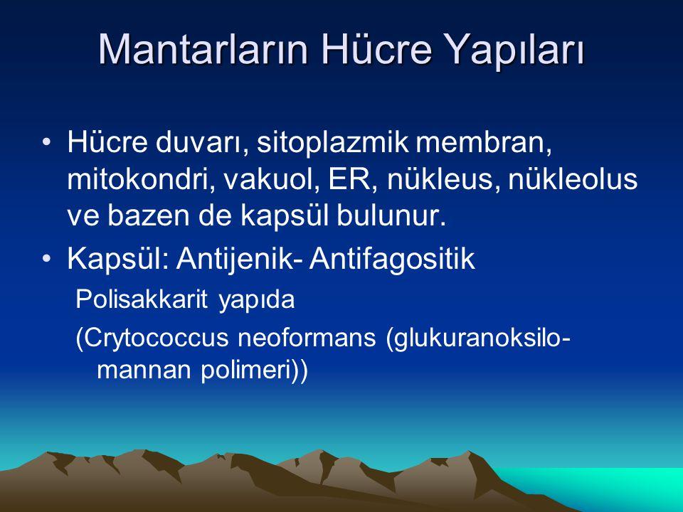 Mantarların Hücre Yapıları Hücre duvarı, sitoplazmik membran, mitokondri, vakuol, ER, nükleus, nükleolus ve bazen de kapsül bulunur. Kapsül: Antijenik