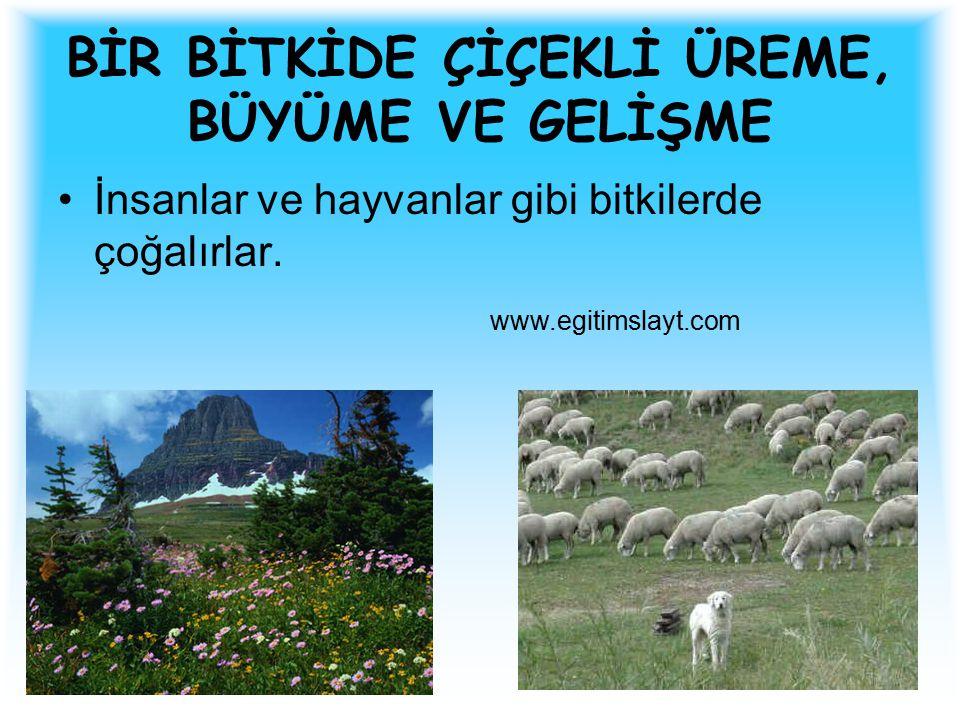 BİR BİTKİDE ÇİÇEKLİ ÜREME, BÜYÜME VE GELİŞME İnsanlar ve hayvanlar gibi bitkilerde çoğalırlar. www.egitimslayt.com