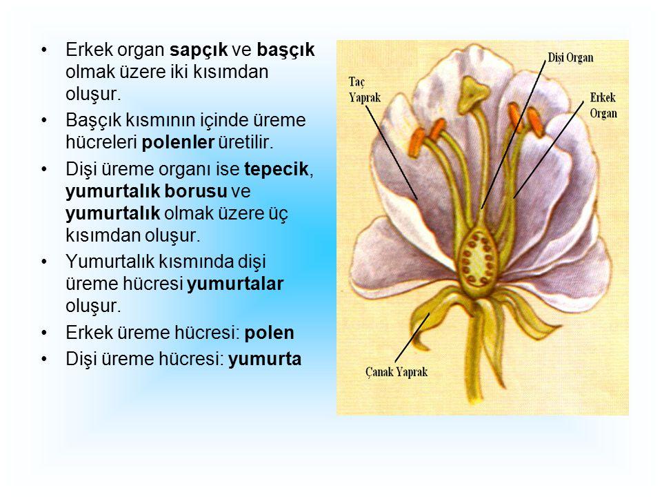 Erkek organ sapçık ve başçık olmak üzere iki kısımdan oluşur. Başçık kısmının içinde üreme hücreleri polenler üretilir. Dişi üreme organı ise tepecik,