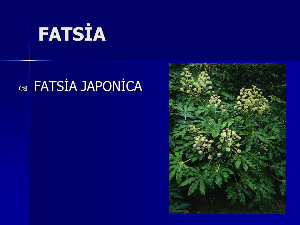 FATSİA  FATSİA JAPONİCA