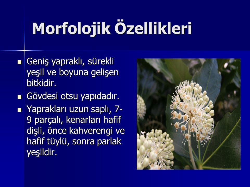 Morfolojik Özellikleri Geniş yapraklı, sürekli yeşil ve boyuna gelişen bitkidir. Geniş yapraklı, sürekli yeşil ve boyuna gelişen bitkidir. Gövdesi ots