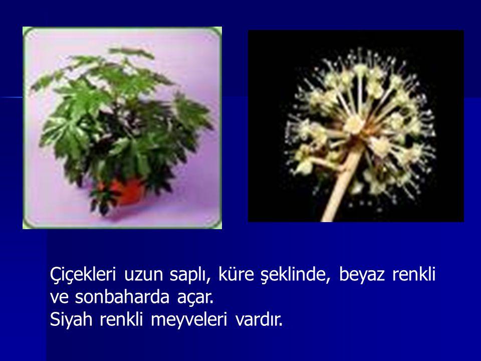 Çiçekleri uzun saplı, küre şeklinde, beyaz renkli ve sonbaharda açar. Siyah renkli meyveleri vardır.