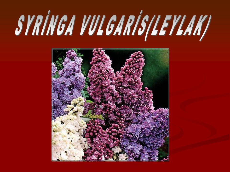 Açık-gri kabuk Açık-gri kabuk pürüzsüz pürüzsüz Gövdesi sağlam,küçük, Gövdesi sağlam,küçük, Yaprak izi çıkıntı halinde gövdede bulunur.