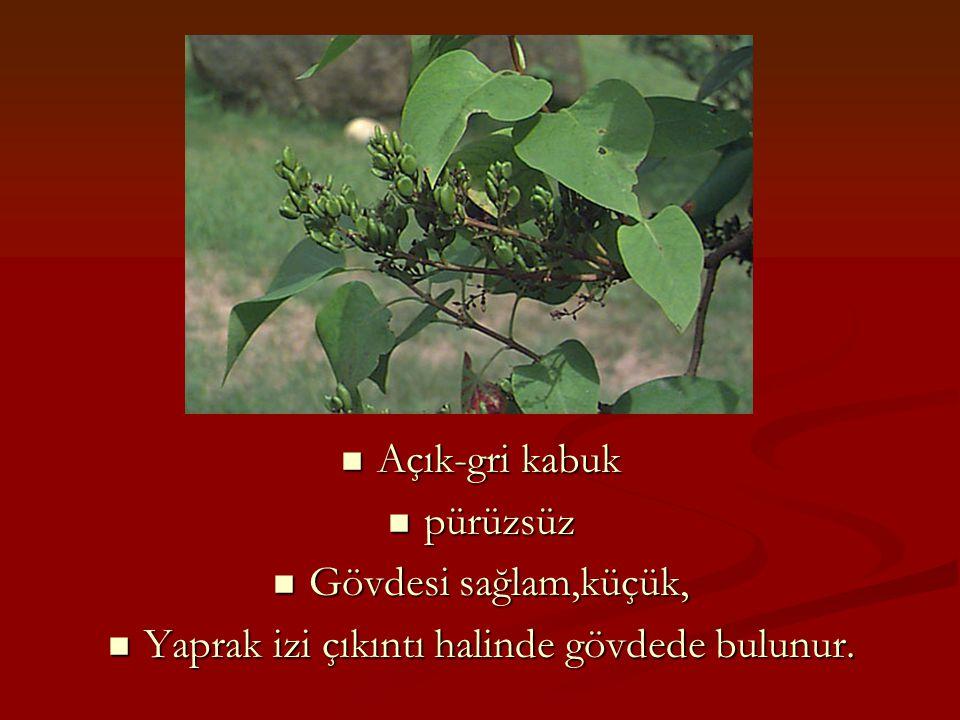 Açık-gri kabuk Açık-gri kabuk pürüzsüz pürüzsüz Gövdesi sağlam,küçük, Gövdesi sağlam,küçük, Yaprak izi çıkıntı halinde gövdede bulunur. Yaprak izi çık