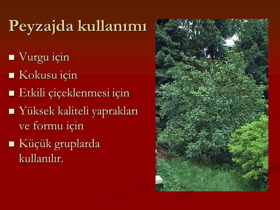 Peyzajda kullanımı Vurgu için Vurgu için Kokusu için Kokusu için Etkili çiçeklenmesi için Etkili çiçeklenmesi için Yüksek kaliteli yaprakları ve formu