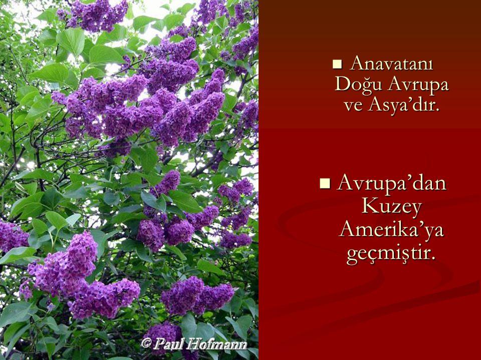Anavatanı Doğu Avrupa ve Asya'dır. Avrupa'dan Kuzey Amerika'ya geçmiştir.