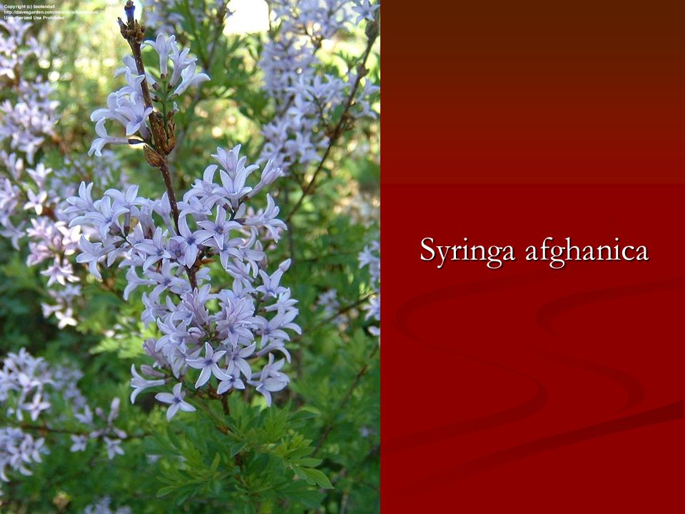 Syringa afghanica