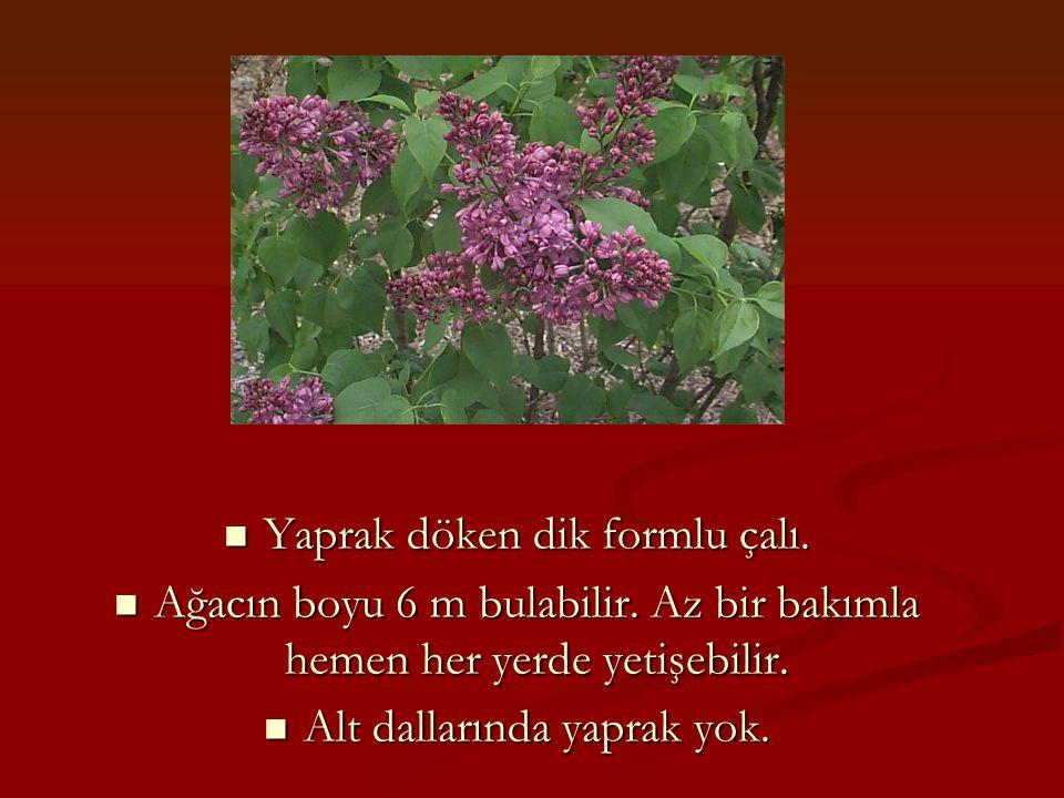 Yaprak döken dik formlu çalı. Yaprak döken dik formlu çalı. Ağacın boyu 6 m bulabilir. Az bir bakımla hemen her yerde yetişebilir. Ağacın boyu 6 m bul