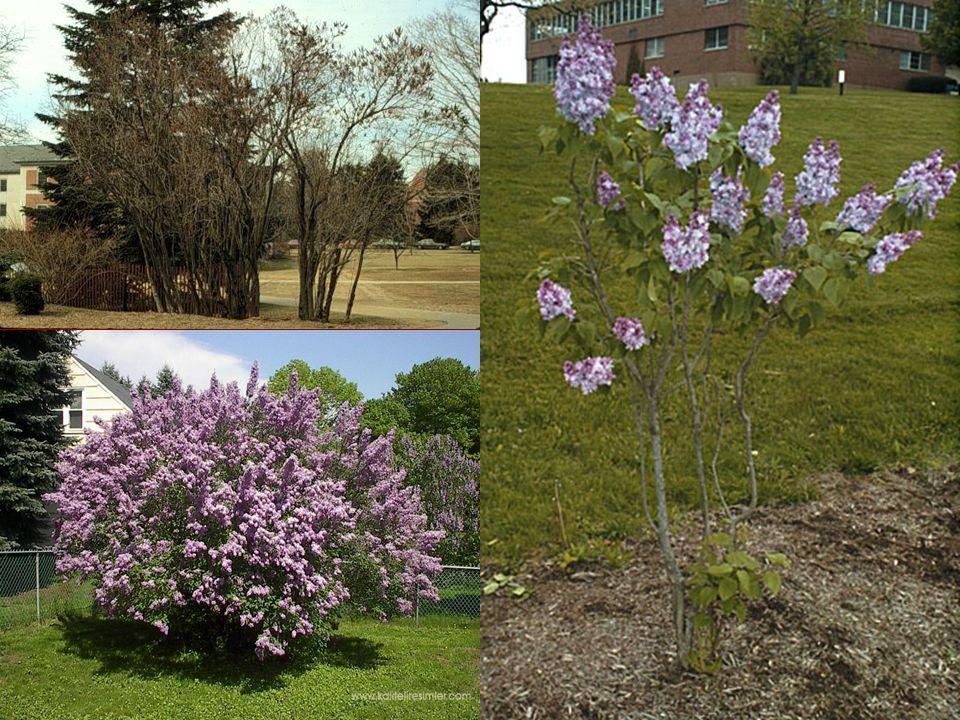 Yapraklanma Yapraklar karşılıklı dizili, Yapraklar karşılıklı dizili, Basit, oval, Basit, oval, 5-12 cm uzunluğunda.