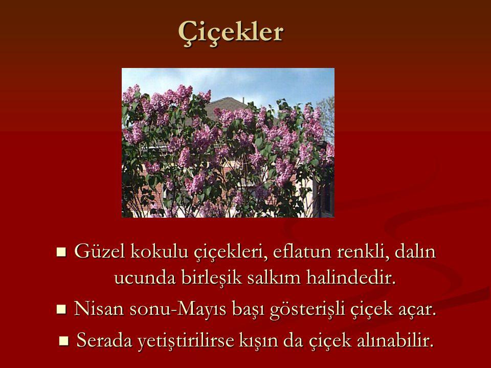 Çiçekler Güzel kokulu çiçekleri, eflatun renkli, dalın ucunda birleşik salkım halindedir. Güzel kokulu çiçekleri, eflatun renkli, dalın ucunda birleşi