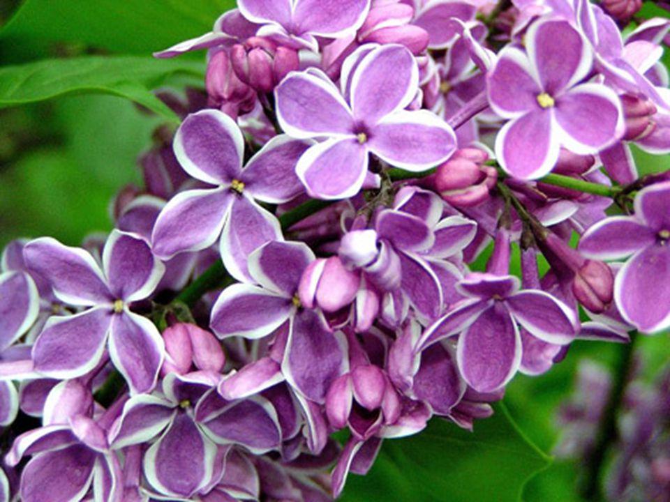 Meyve Kapsüller birleşik salkım halinde,dalların ucunda yerleşik.