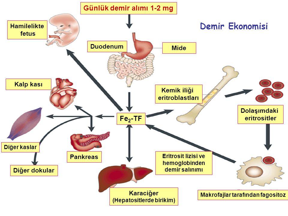 Günlük demir alımı 1-2 mg Mide Diğer dokular Diğer kaslar Pankreas Karaciğer (Hepatositlerde birikim) Kalp kası Hamilelikte fetus Duodenum Fe 2 -TF Ma