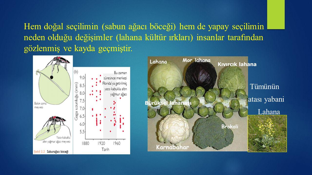 Hem doğal seçilimin (sabun ağacı böceği) hem de yapay seçilimin neden olduğu değişimler (lahana kültür ırkları) insanlar tarafından gözlenmiş ve kayda