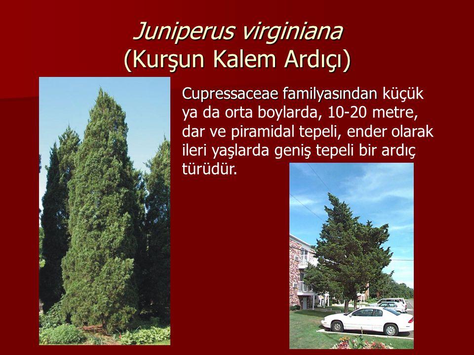 Juniperus virginiana (Kurşun Kalem Ardıçı) Cupressaceae familyasından Cupressaceae familyasından küçük ya da orta boylarda, 10-20 metre, dar ve piramidal tepeli, ender olarak ileri yaşlarda geniş tepeli bir ardıç türüdür.
