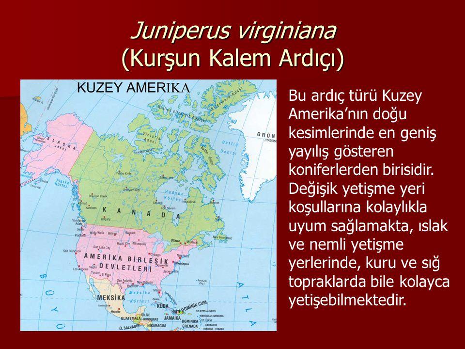 Juniperus virginiana (Kurşun Kalem Ardıçı) Bu ardıç türü Kuzey Amerika'nın doğu kesimlerinde en geniş yayılış gösteren koniferlerden birisidir.