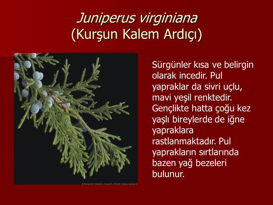 Juniperus virginiana (Kurşun Kalem Ardıçı) Sürgünler kısa ve belirgin olarak incedir.