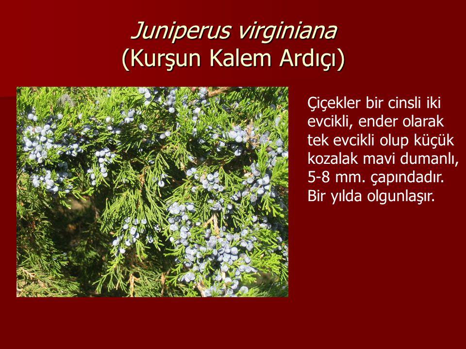 Juniperus virginiana (Kurşun Kalem Ardıçı) Çiçekler bir cinsli iki evcikli, ender olarak tek evcikli olup küçük kozalak mavi dumanlı, 5-8 mm.