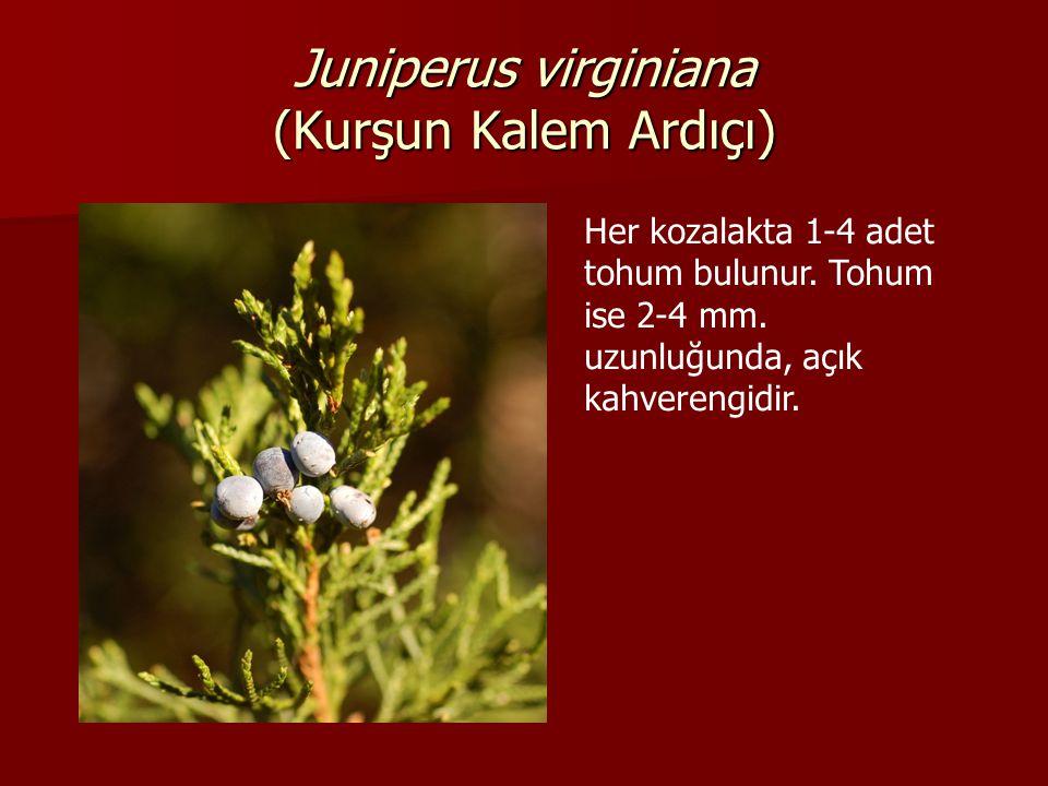 Juniperus virginiana (Kurşun Kalem Ardıçı) Her kozalakta 1-4 adet tohum bulunur.